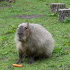 Despite the Appearance: the Capybara