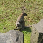 Family chatting: Parma Wallaby