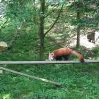 I Love the Red Panda!