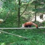I Love the Red Panda!