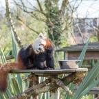 Red Panda: the new-born
