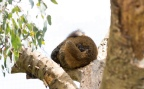 The sweetest picture: Collared Brown Lemurs